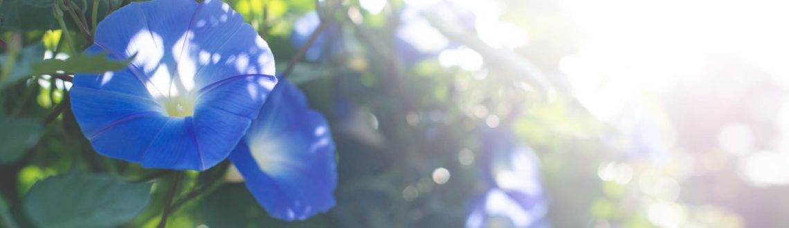 Blue Morning Glories | Fare Isle